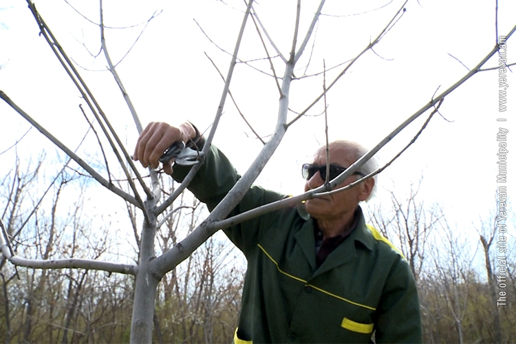 в Ереване будет посажено около 7500 деревьев